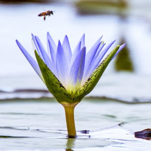 Bee and lotus symbol of meditation